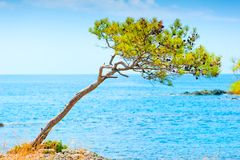 Rare pine cones on a rock by sea Royalty Free Stock Photo