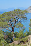 Rare pine tree in Crimea on rock by Black sea Stock Images
