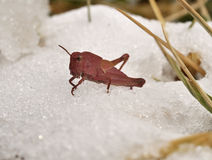 Rare pink Grasshopper. In the snow Stock Image