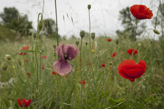 Rare Pink Poppy Royalty Free Stock Images