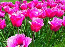 Rare pink tulips in Keukenhof Royalty Free Stock Photos