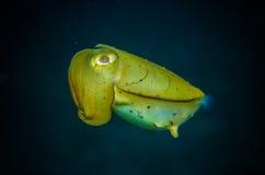 Rare pipefish bunaken sulawesi indonesia solenostomus paradoxus underwater Royalty Free Stock Photography