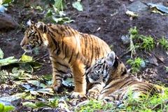 Authoritative Sumatran Tiger Stock Images