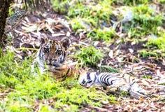 Authoritative Sumatran Tiger Royalty Free Stock Photos