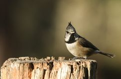 A rare Crested Tit Lophophanes cristatus perching on a wooden tree stump in the Abernathy forest in the highlands of Scotland wi. A rare pretty Crested Tit stock image