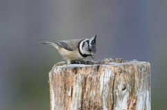 A rare Crested Tit Lophophanes cristatus perching on a wooden tree stump in the Abernathy forest in the highlands of Scotland wh. A rare pretty Crested Tit royalty free stock photo