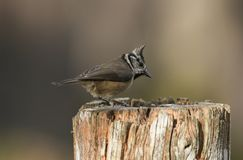 A rare Crested Tit Lophophanes cristatus perching on a wooden tree stump in the Abernathy forest in the highlands of Scotland wh. A rare pretty Crested Tit royalty free stock images