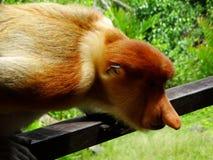 A rare proboscis monkey in the mangrove of Labuk Bay Royalty Free Stock Image