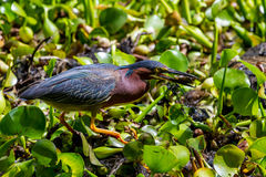 Rare Profile Shot of a Least Bittern (Ixobrychus exilis) Eating a Crayfish (Crawdad). Stock Photo