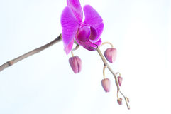 Rare purple orchid with buds isolated on white background. Closeup rare purple orchid with buds Royalty Free Stock Images