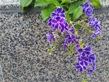 Rare purple wildflowers stock photography