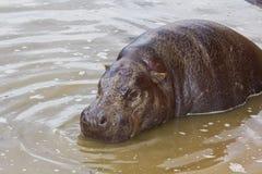 A rare pygmy hippopotamus (Choeropsis liberiensis) Royalty Free Stock Photo