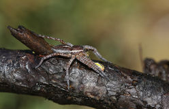 A rare Raft Spider Dolomedes fimbrata eating a Caterpillar. Royalty Free Stock Photography