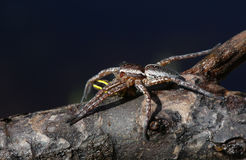A rare Raft Spider Dolomedes fimbrata eating a Caterpillar. Stock Photography