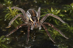 A rare Raft Spider Dolomedes fimbrata looking for prey on top of the water. Stock Images