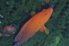 Rare rainbow grouper hiding in black coral off Padre Burgos, Leyte, Philippines. The diving around the small but vibrant town of Padre Burgos, is a real paradise Royalty Free Stock Images