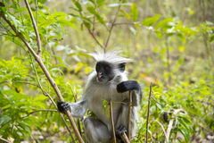 Rare Red Colobus Monkey Stock Image
