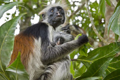 Rare Red Colobus Monkey with little Royalty Free Stock Image