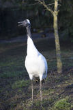 Rare Red-crowned crane,Grus japonensis, Royalty Free Stock Images