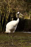 Rare Red-crowned crane,Grus japonensis, Royalty Free Stock Photography