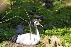 Rare Red-crowned crane,Grus japonensis, in nest Stock Photography