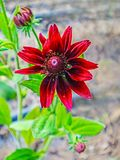 Rare red flower in bloom. On sunlight Stock Images