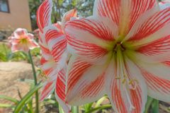 Rare, red flower with white strips. Close up Stock Image