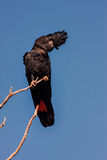 Rare, Red-tailed black cockatoo, Calyptorhynchus banksii, Western Australia Stock Photography