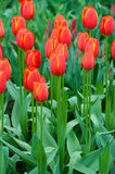 Rare red and yellow tulips growing in Keukenhof park, Netherland Royalty Free Stock Photo