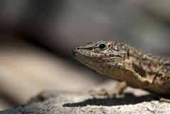 Rare reptile Royalty Free Stock Images