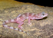 The rare Reticulated Gecko, Coleonyx reticulatus Royalty Free Stock Photo