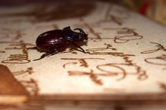 A rare rhinoceros beetle sits on the table against the background of what`s written stock image