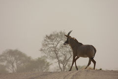 Rare Roan Antelope. Roan antelope in Choebe National park, Botswana, South Africa royalty free stock photography