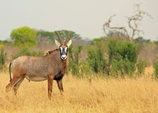 Rare Roan Antelope on the african plains looking straight into camera. Roan Antelope - Hippotragus equinus - standing looking diretly into camera, with a natural royalty free stock photography