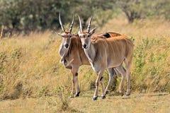Male kudu antelope Tragelaphus strepsiceros in natural habitat, Etosha National Park, Namibia. A a rare roan antelope Hippotragus equinus, South Africa Wild Stock Photos