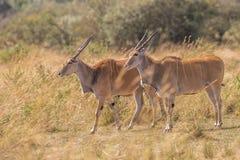Male kudu antelope Tragelaphus strepsiceros in natural habitat, Etosha National Park, Namibia. A a rare roan antelope Hippotragus equinus, South Africa Wild Stock Photo