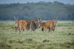 Male impala antelope Tragelaphus strepsiceros in natural habitat, Etosha National Park, Namibia. A a rare roan antelope Hippotragus equinus, South Africa Wild Stock Photography