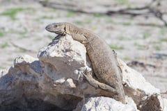 Rare rock monitor (Varanus albigularis), Etosha National Park Royalty Free Stock Images