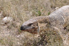 Rare rock monitor (Varanus albigularis) Namibia Royalty Free Stock Photography
