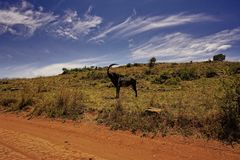 Rare sable antelope in South Africa Stock Photo