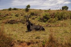 Rare sable antelope in South Africa Royalty Free Stock Photography