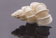 Rare Sea shell Royalty Free Stock Images