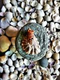 A rare sea shell. Many sea shells of different shape and size Royalty Free Stock Photography