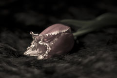 Rare shaggy Tulip on black background Stock Images