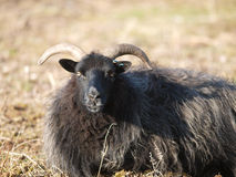 Rare Sheep Royalty Free Stock Photo