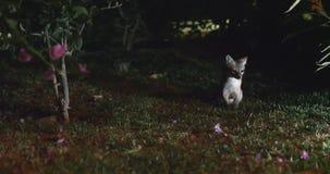 Rare shot of the Costa Rica Gray Fox at night.