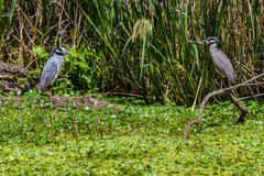 A Rare Shot of a Pair of Wild Yellow-crowned Night Heron (Nyctanassa violacea) Facing Each Other in Texas. Royalty Free Stock Images