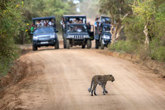 A rare sight as a leopard crosses a dirt road within Yala National Park in Sri Lanka. Stock Photos