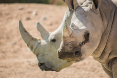 A rare sight. A baby rhino and its mother drink from a water hole stock photography