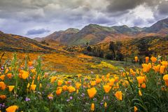California poppies in bloom. stock photo